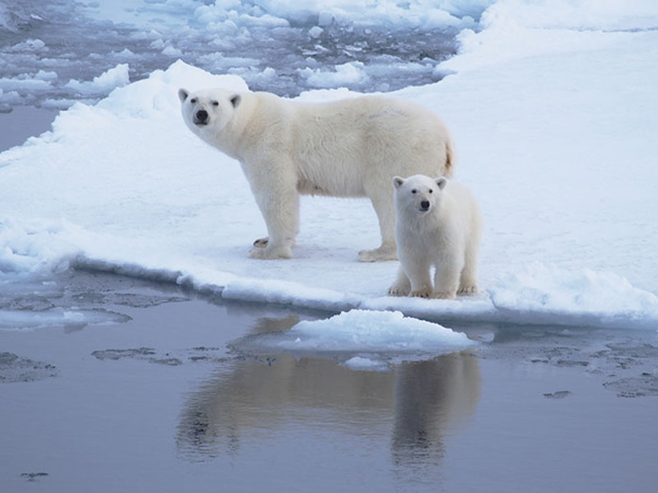 Polar bear female and her cub. Photo: Martin Jakobsson