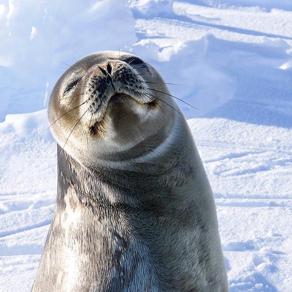 Weddell seal basking in the sun. Photo: Karin Hårding