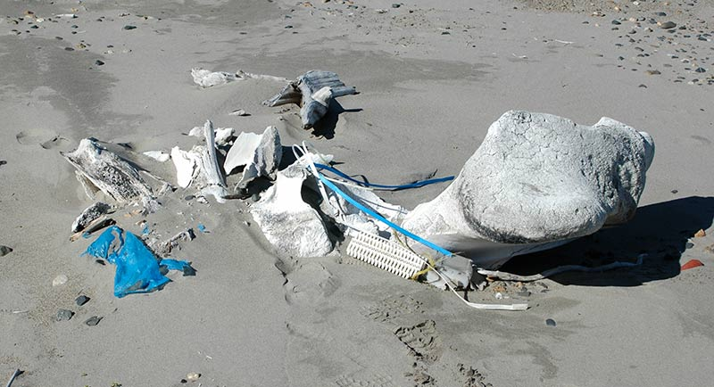 Plastic debris intangled with the jawbone of a whale at Toygunen, north of Kolyuchin Bay. Photo: Henrik Kylin.