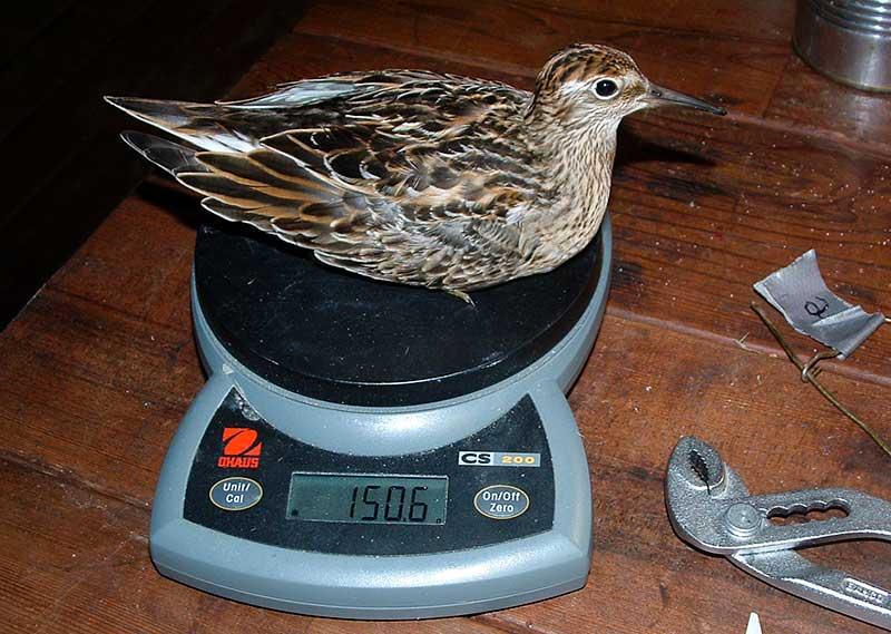 Den tyngsta Spetsstjärtad snäppa som någonsin registrerats i Alaska, fångades den 26 september. Den här fågeln har troligen mer än fördubblat sin kroppsmassa genom att lagra fett. Foto: Åke Lindström