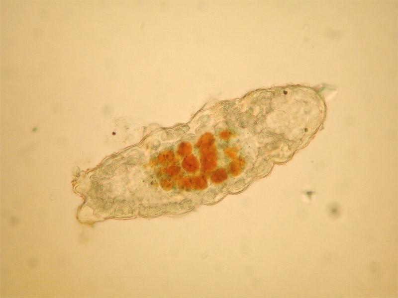 Tardigrade (species unidentified) from the nunatak Plogen, Dronning Maud Land. Photo: Ingemar Jönsson