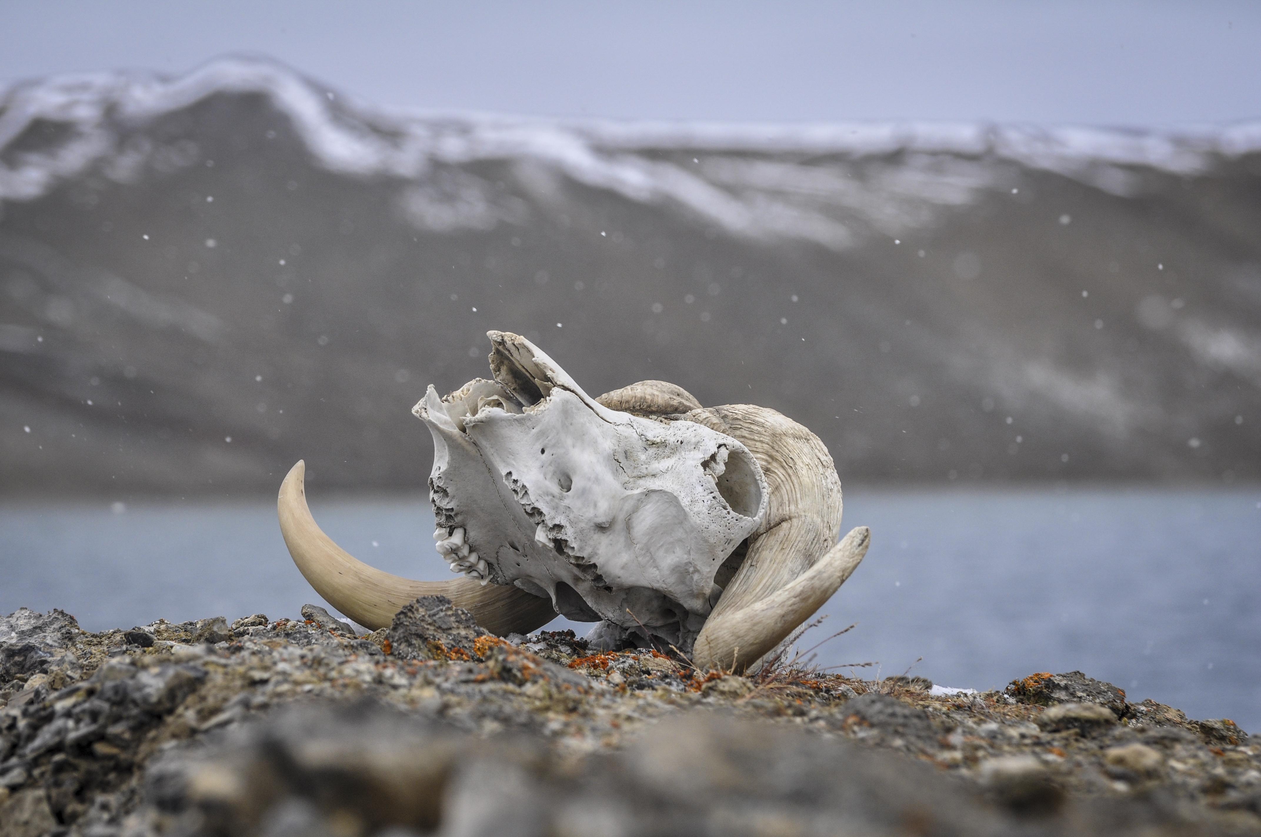 Skallben från en myskoxe. Foto Åsa Lindgren