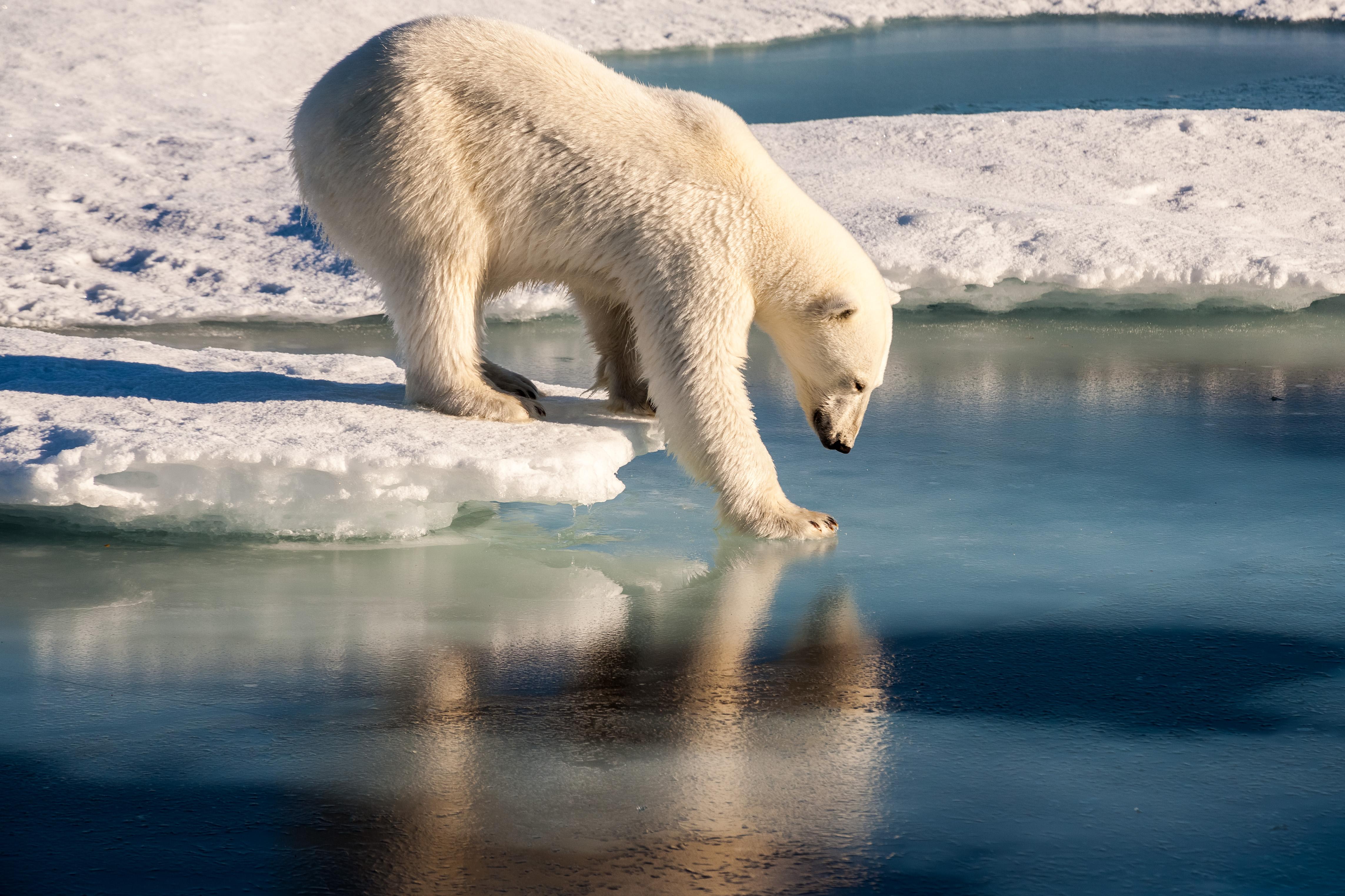 A polar bear probes the ice. Photo: Mario Hoppmann, AWI