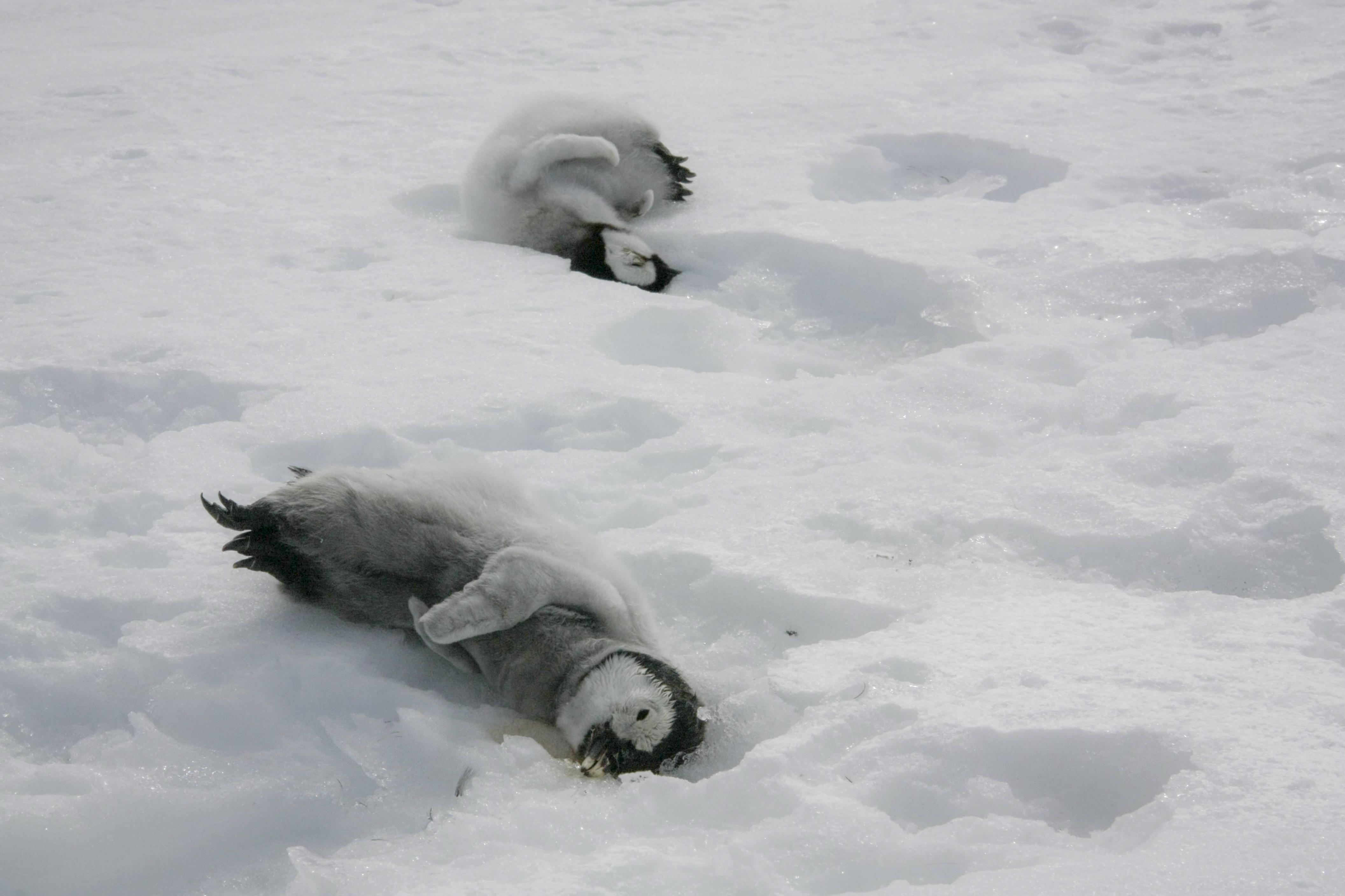 Två pingvingungar som inte klarat sig