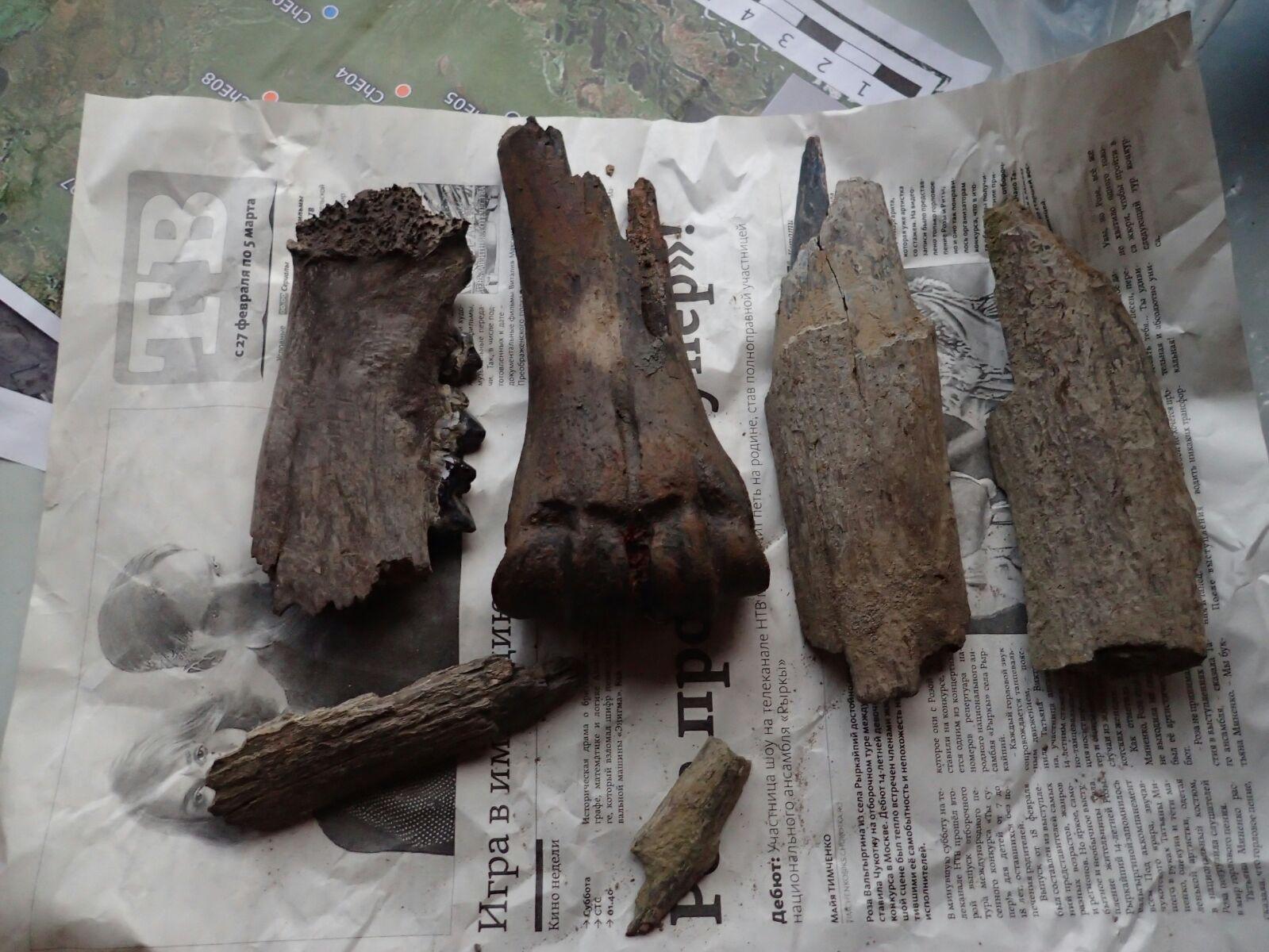mammutbetar och benskärvor från bisonoxe