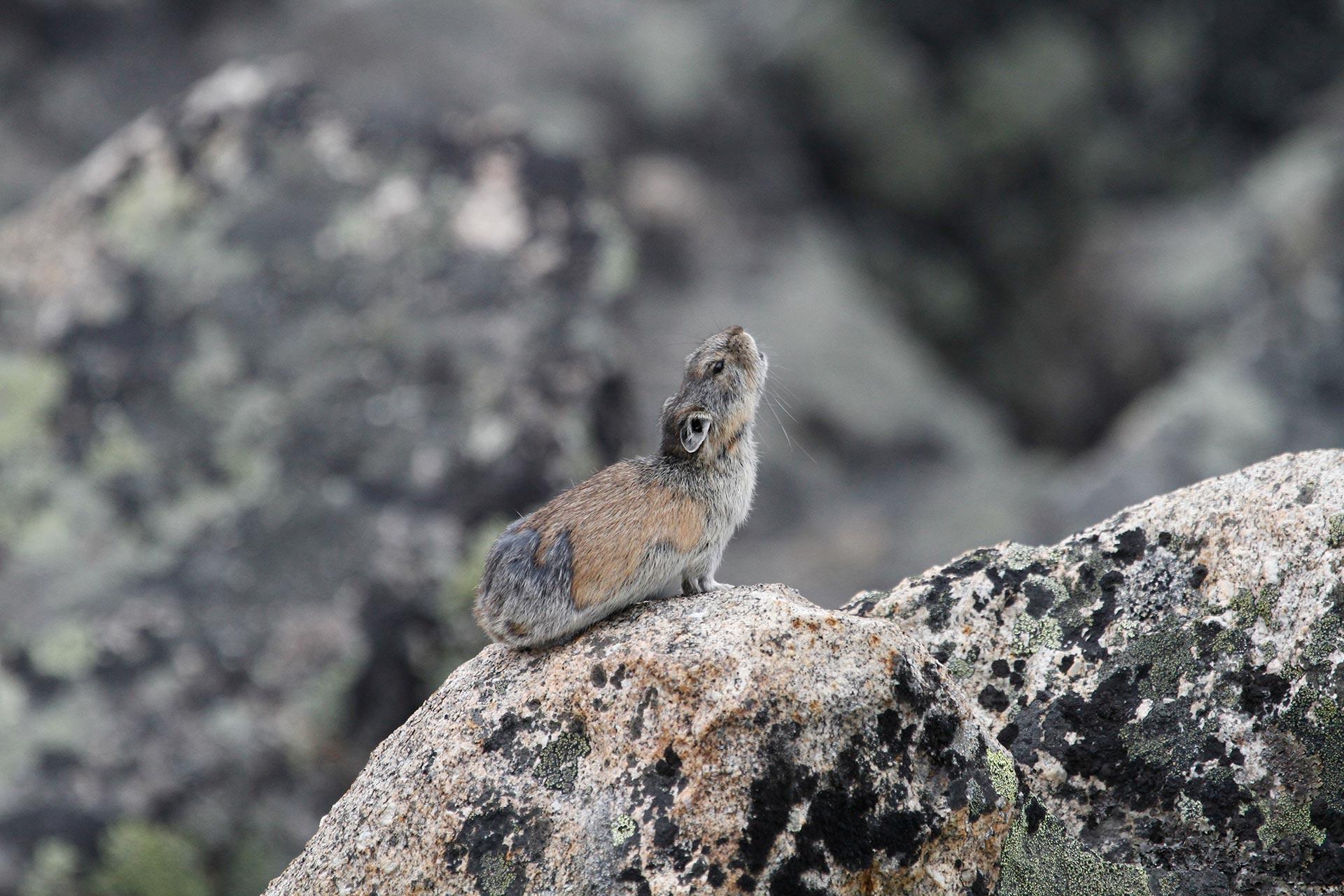 Sibirisk piphare sitter på en sten