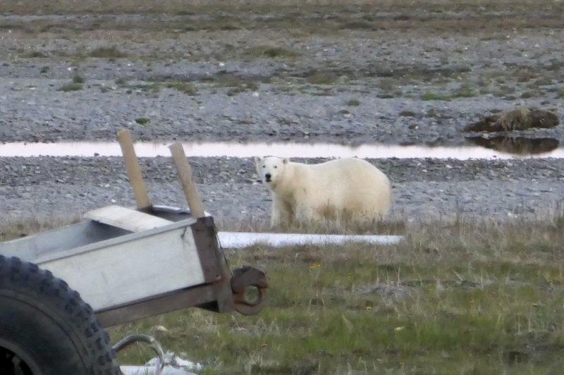 isbjörn på nära håll