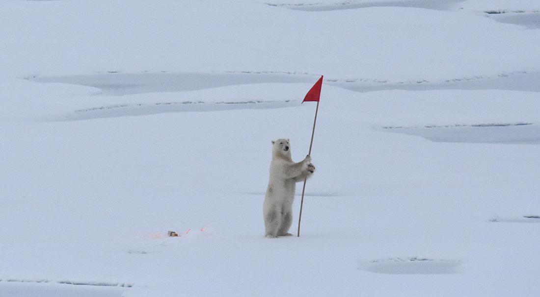 Isbjörn med flagga