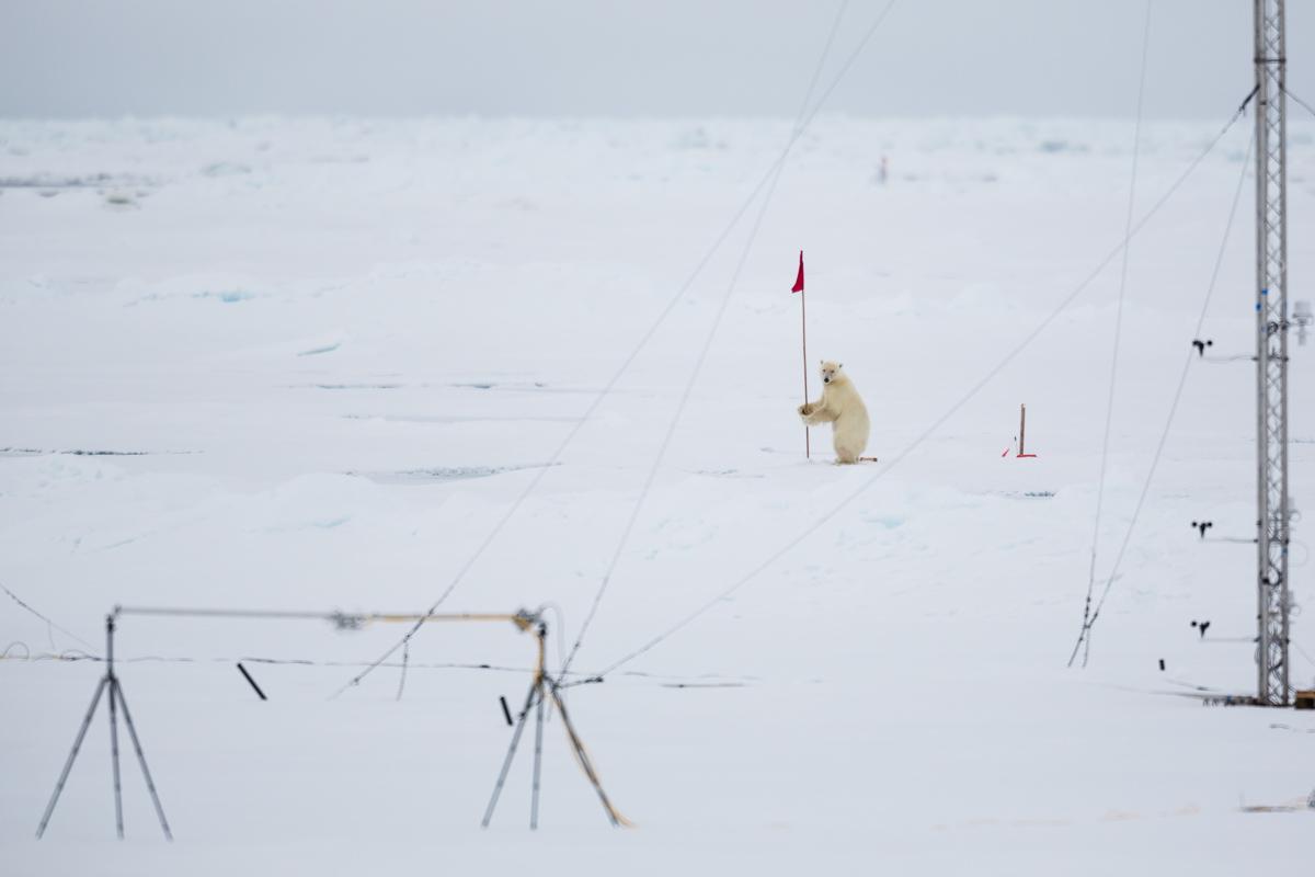 Polar bear with flag