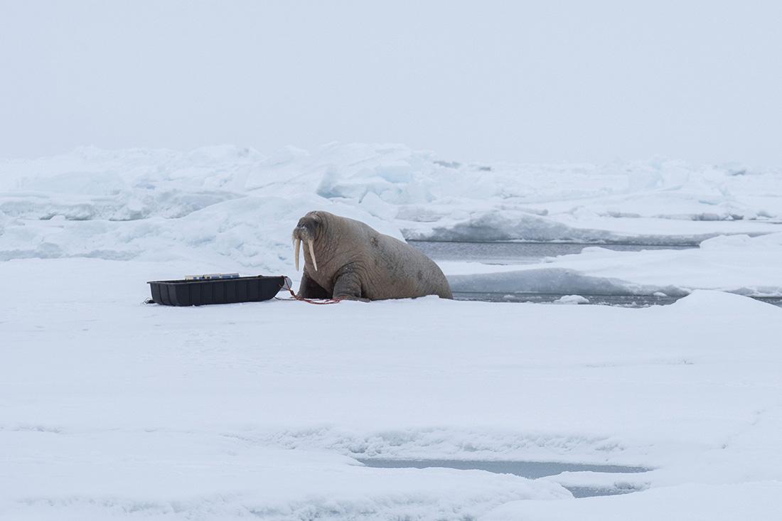 Walrus examining sledge